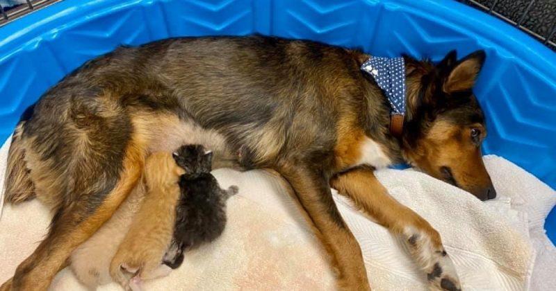 dog adopts kittens ABC 15 Arizona